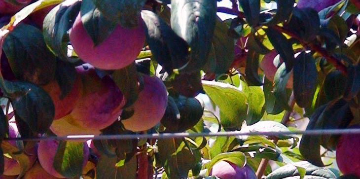 Plums bear beneficial properties for the body and are of wonderful flavor.