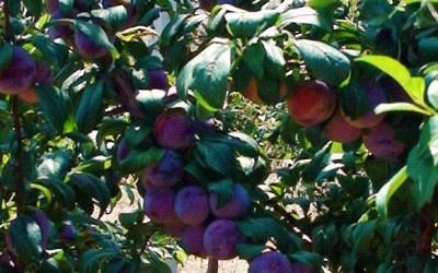 In a really short period of time, plum won the consumers of Aetoakarnania, as well. The margins of increasing the production, through the participation of more farmers, are wide.