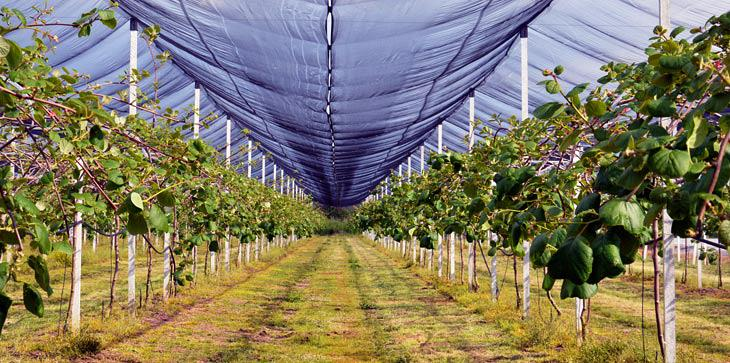 Producing kiwifruit in Aetoloakarnania over recent years has proved to be profitable for those who have opted for this crop.