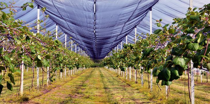 Η παραγωγή ακτινιδίων τα τελευταία χρόνια στην Αιτωλοακαρνανία έχει αποδειχθεί επικερδής για όσους επέλεξαν την καλλιέργεια.
