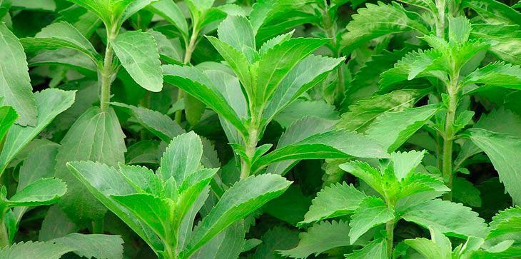 Οι γλυκαντικές ιδιότητες του φυτού καθιστούν το προϊόν περιζήτητο