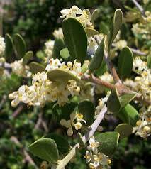 Εικόνα 1. Ανθοταξίες και νέα βλάστηση εμφανίζονται συγχρόνως την άνοιξη