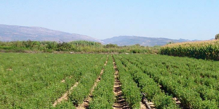 The first stevia planting in Europe took place in Agrinio. This is where the factory will be built