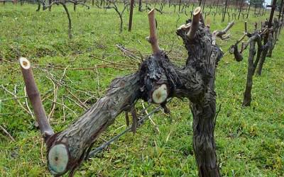 Αμπέλι - Ασθένειες ξύλου