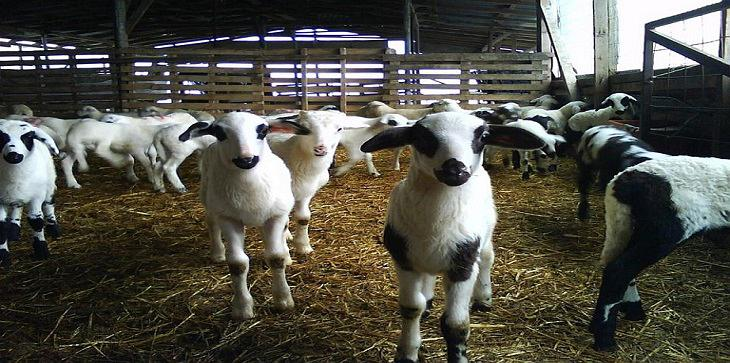 πρόβατα Φ. Μπ. ΕΝΩΣΗ (2) - Αντίγραφο
