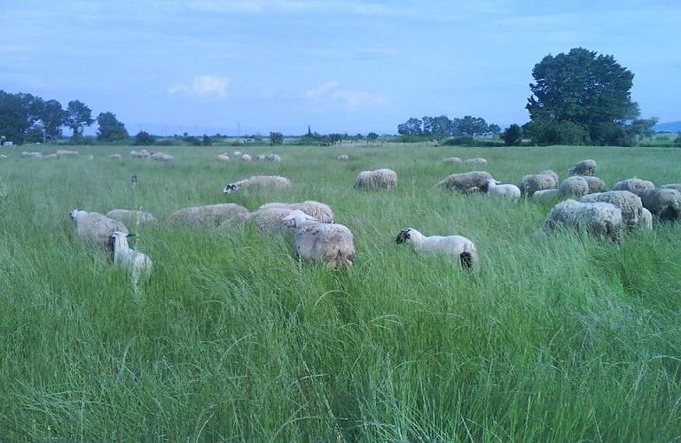 πρόβατα ΦΜ-ΕΑ