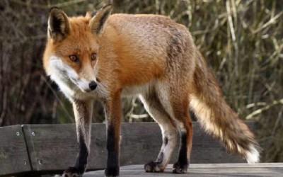 Πρόγραμμα καταπολέμησης και επιτήρησης της λύσσας
