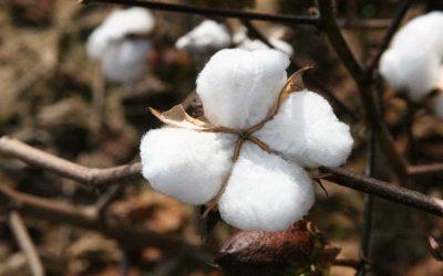 Ολοκληρωμένη φυτοπροστασία για το βαμβάκι στην Αιτωλοακαρνανία