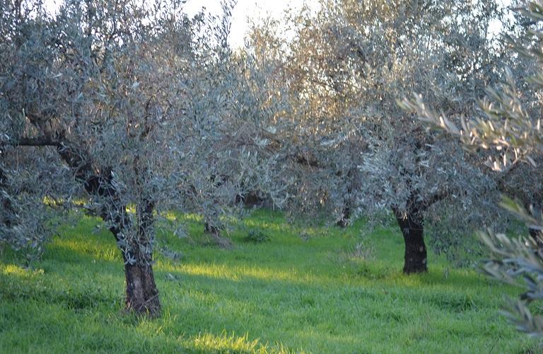 Χειμωνιάτικη φυτοπροστασία ελιάς