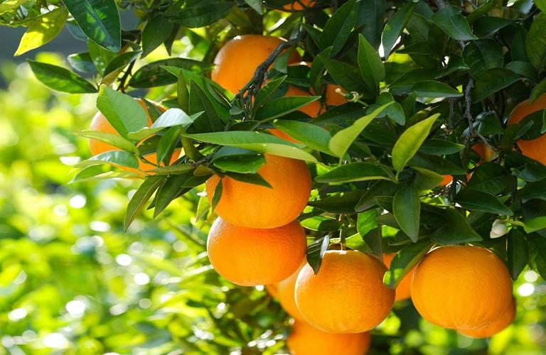 Πορτοκαλιά: Χρήσιμες πληροφορίες για τους παραγωγούς