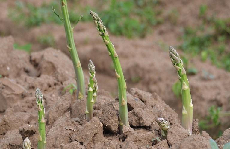 Σπαράγγι: Προετοιμασία καλλιέργειας