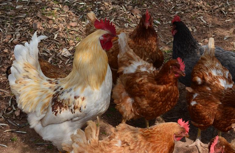 Σε εγρήγορση οι Κτηνιατρικές Υπηρεσίες για την γρίπη των πτηνών
