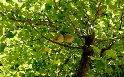 Καλλιέργεια αχλαδιάς-Γεωργικές Προειδοποιήσεις