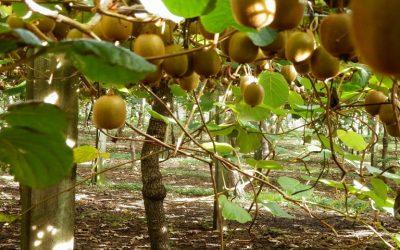 Ακτινιδιά: Βακτηριακό έλκος και ορθές πρακτικές για την προστασία της καλλιέργειας