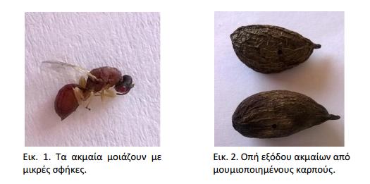 Αγροτικές Καλλιέργειες: Ασθένειες και Εχθροί της Φιστικιάς   agrocapital.gr