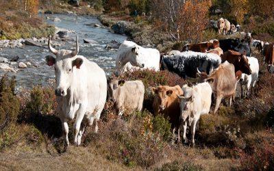 Βοοειδή: πρόγραμμα επιτήρησης της σπογγώδους εγκεφαλοπάθειας