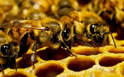Μέλισσα: το πιο σημαντικό έμβιο ον στον πλανήτη