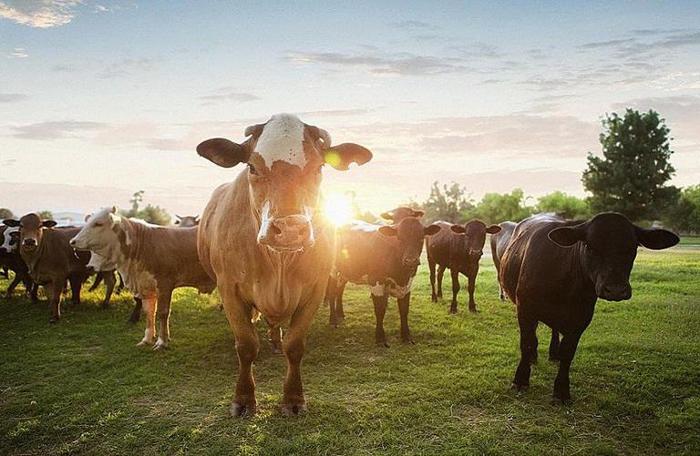 Οδηγίες για τη φυματίωση στα βοοειδή