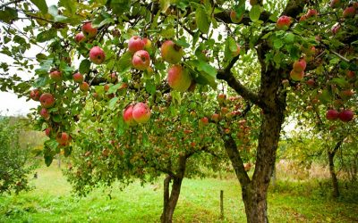 Επεμβάσεις σε οπωρώνες μηλιάς – αχλαδιάς