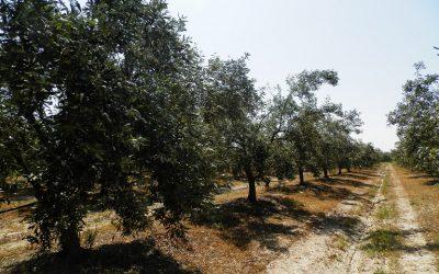 Προστασία στις ελιές για Λεκάνιο και Μαργαρώνια