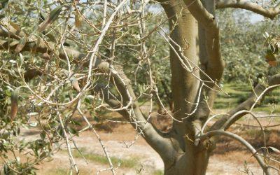 Ελαιόδεντρα και βερτισιλλίωση: πως να την αντιμετωπίσετε
