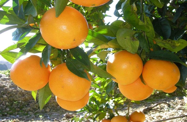 Η Συνδεδεμένη Ενίσχυση στα προς χυμοποίηση πορτοκάλια
