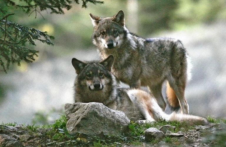 Ευρωπαϊκή λύση για τους λύκους και τις ζημιές από άλλα προστατευόμενα ζώα