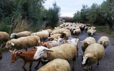 Δεν θα χάνουν την επιδότηση οι κτηνοτρόφοι σε περιπτώσεις ανωτέρας βίας