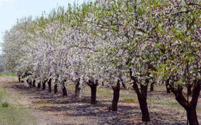 Καλλιέργεια αμυγδαλιάς και αντιμετώπιση ασθενειών