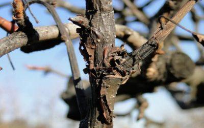 Αχλαδιά – μηλιά: χειμερινές επεμβάσεις φυτοπροστασίας