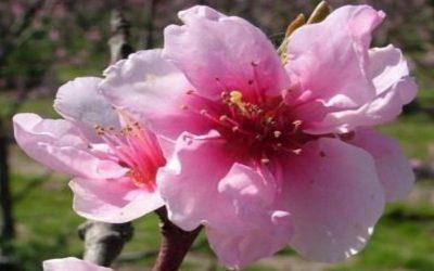 Νεκταρινιά – ροδακινιά: γεωργικές προειδοποιήσεις
