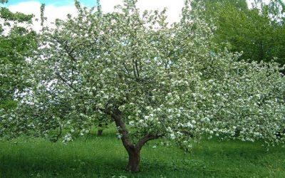 Γεωργικές προειδοποιήσεις για την καλλιέργεια της μηλιάς