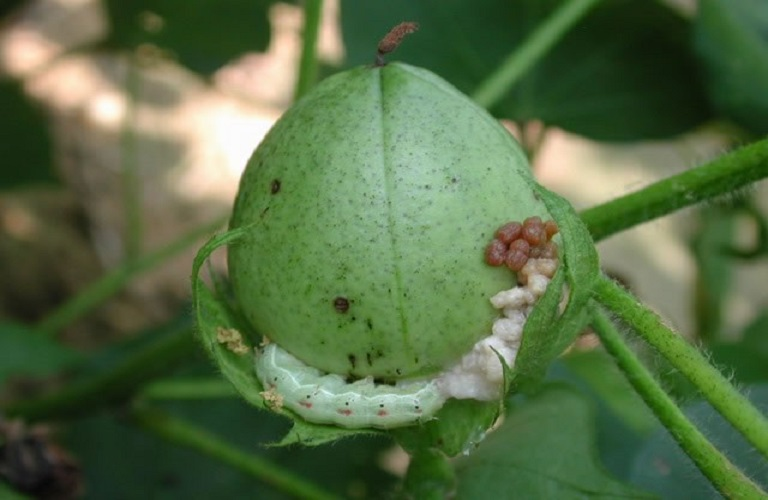Αποτέλεσμα εικόνας για πρασινο σκουληκι