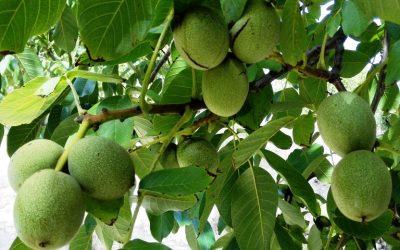 Καρυδιά – φυτοπροστασία