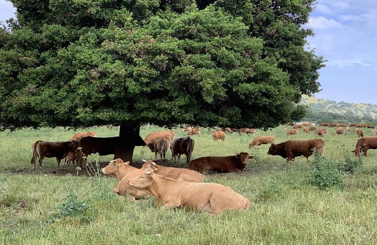 Διευκρινήσεις για την αποθεματοποίηση στο αιγοπρόβειο και βόειο κρέας