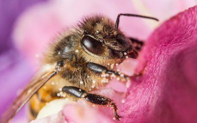 Τέλος στην προσπάθεια αποδυνάμωσης της προστασίας των μελισσών