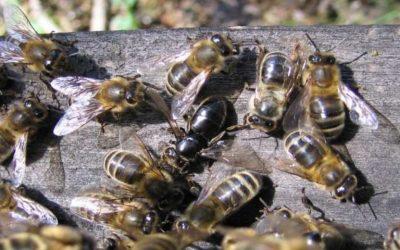 Προστασία μελισσών από ψεκασμούς