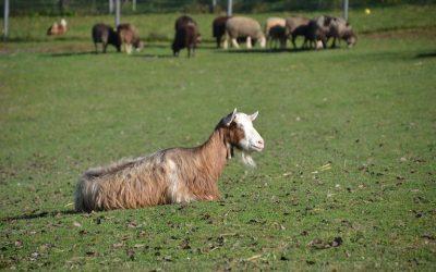 Μαστίτιδα: η ασθένεια που ταλαιπωρεί τα ζώα και προβληματίζει τους κτηνοτρόφους