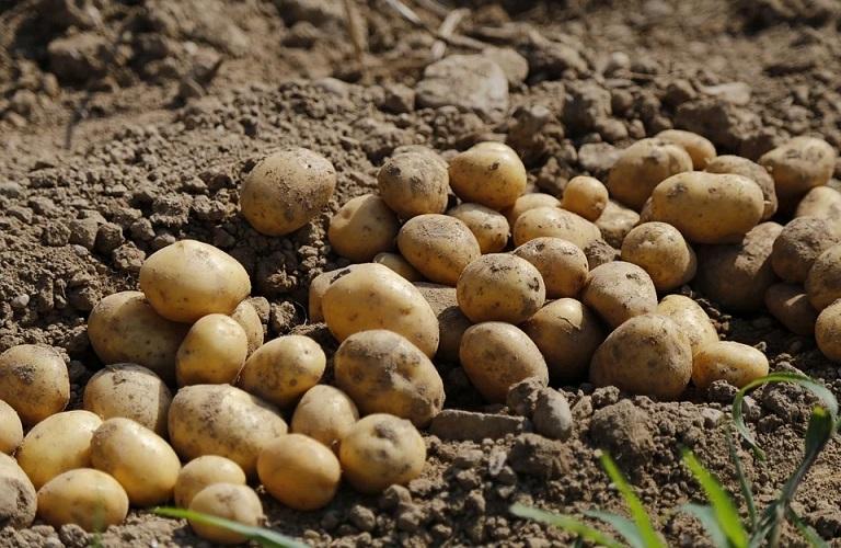 Οδηγός για την καλλιέργεια της πατάτας